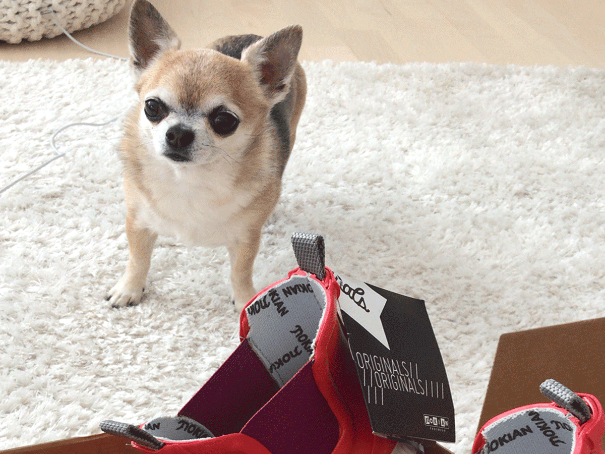 A small dog with Hai Low boots